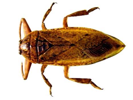 Cucaracha-de-agua-o-acuática2