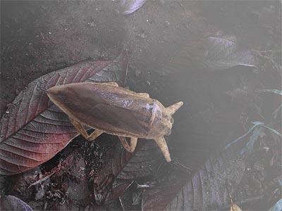 Cucaracha-de-agua-o-acuática3