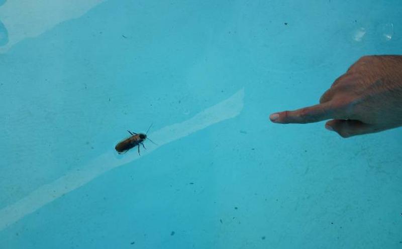 Cucaracha-de-agua-o-acuática5