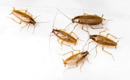 Cucaracha-germánica-rubia-o-cucaracha-rubia2