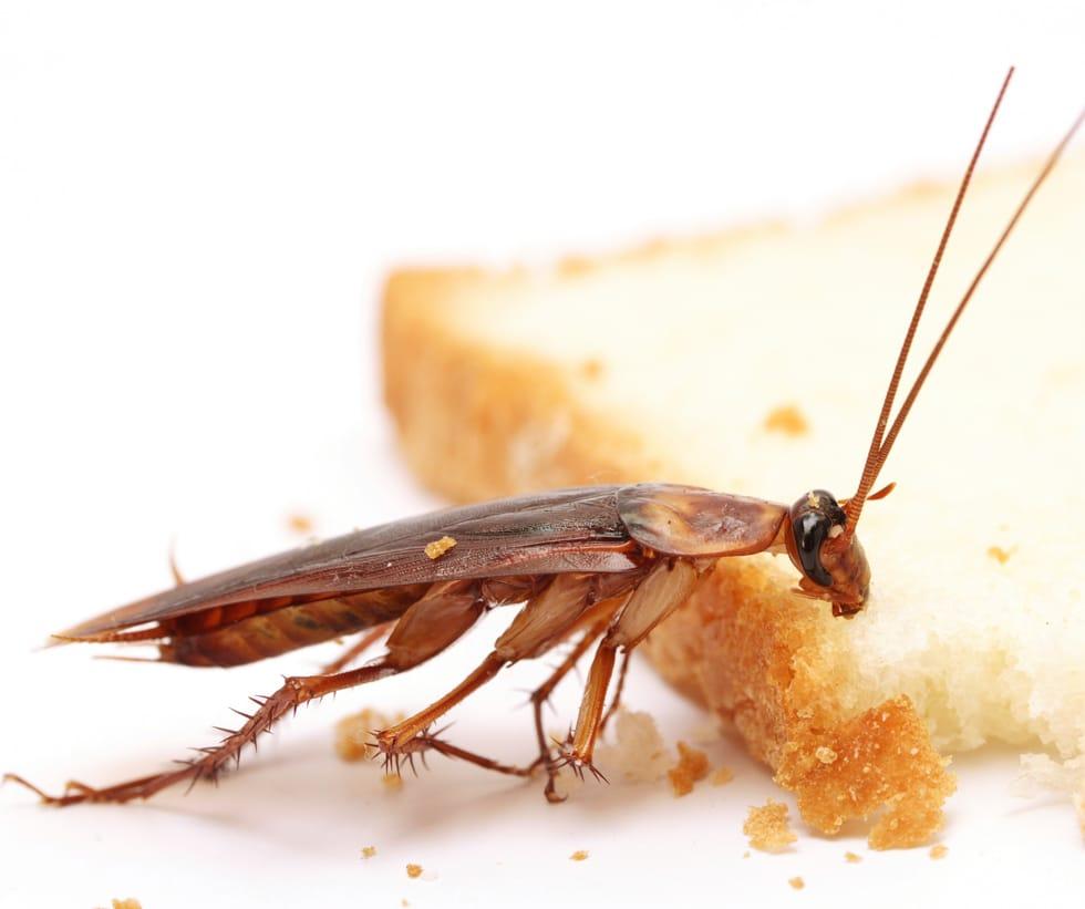 Cucaracha-germánica-rubia-o-cucaracha-rubia5