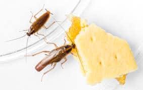 Cucaracha-germánica-rubia-o-cucaracha-rubia1