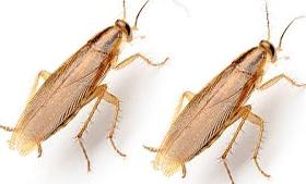 Cucaracha germánica rubia o cucaracha rubia