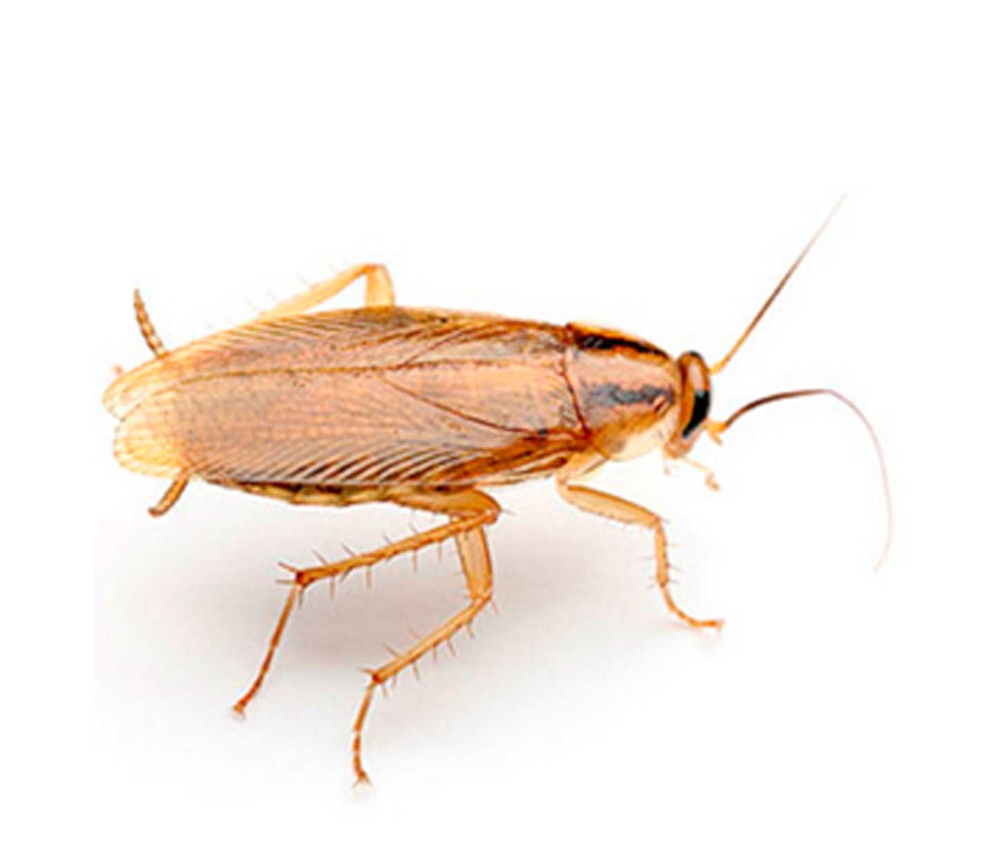 Cucaracha-germánica-rubia-o-cucaracha-rubia4