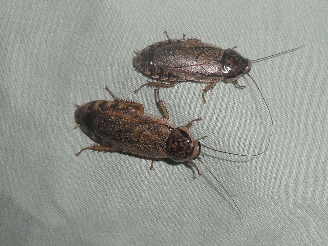 Cucaracha-lobster4