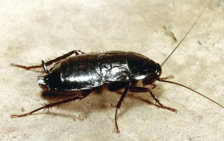 Cucaracha-oriental2