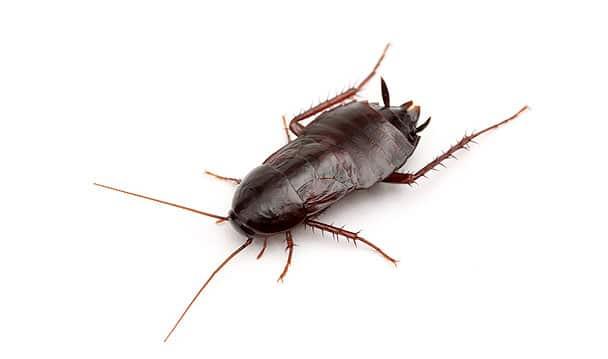 Cucaracha-oriental3