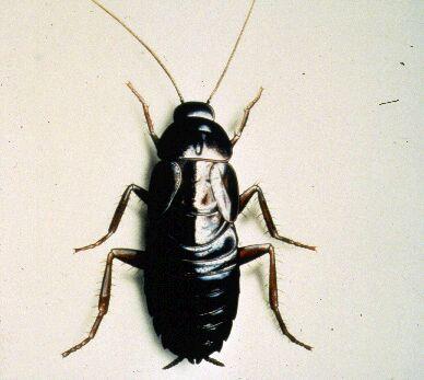 Cucaracha-oriental4