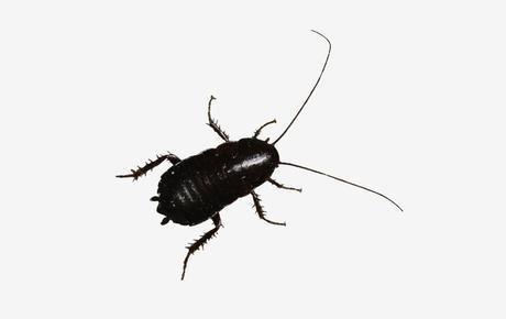 Cucaracha-oriental5
