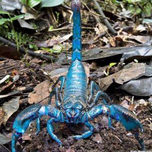 escorpión-azul-4