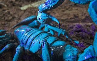Escorpión azul