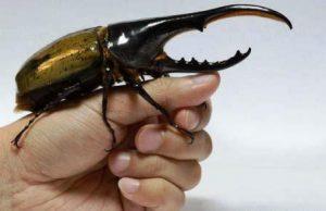 El escarabajo hércules