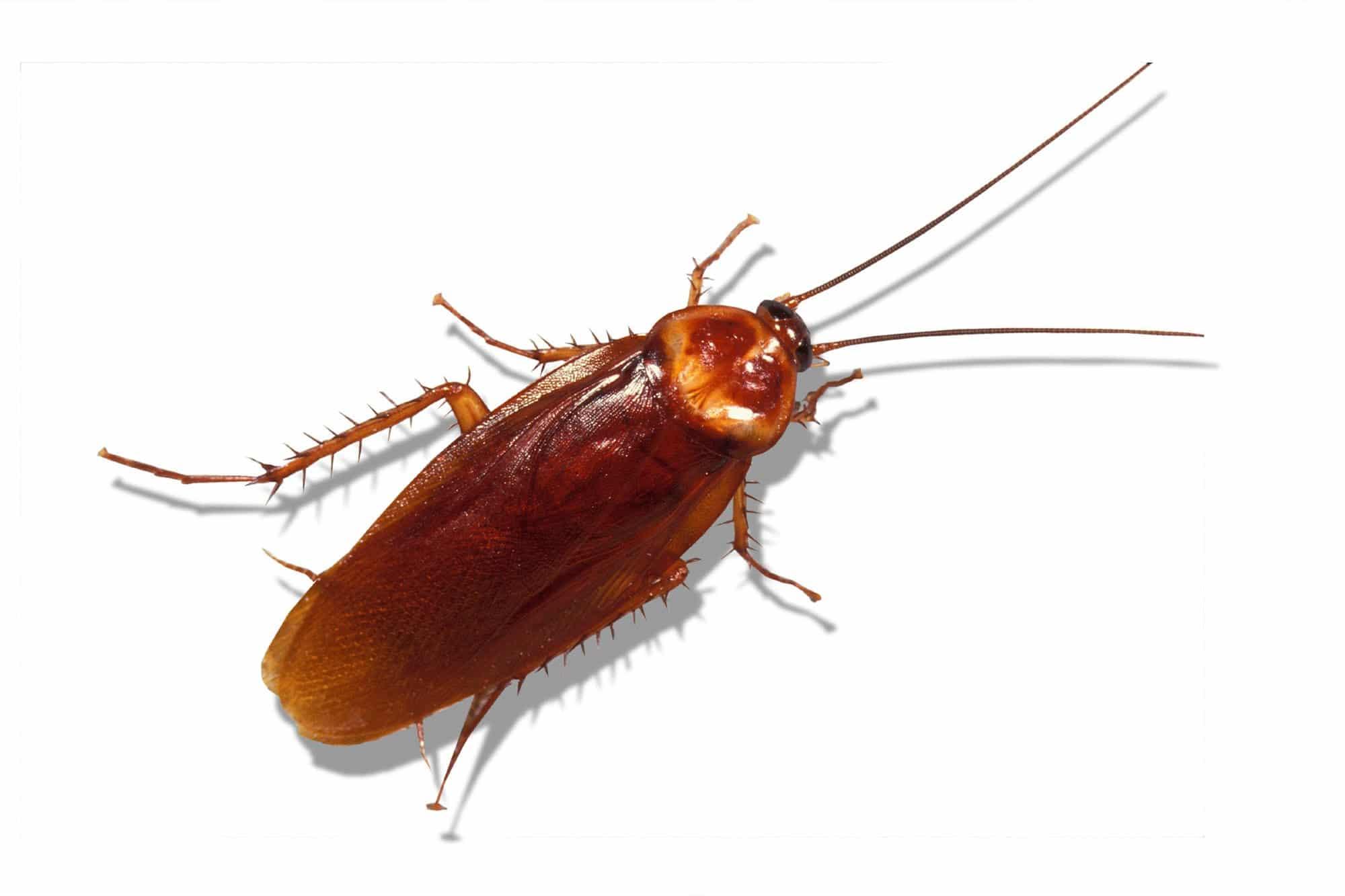 Enfermedades-por-cucaracha2