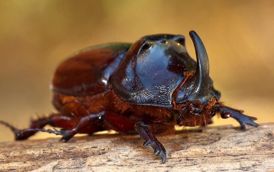 Escarabajo-Rinoceronte-F
