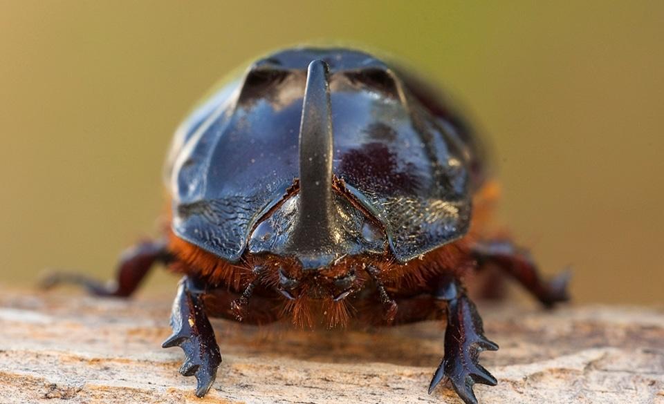 Escarabajo-Rinoceronte-F4-1