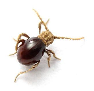 Escarabajo araña: Todo lo que necesitas saber