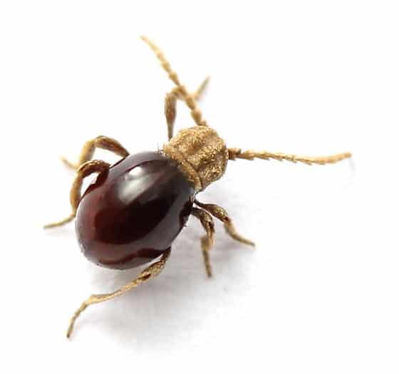 Escarabajo-araña2