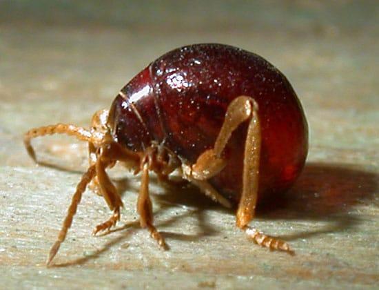 Escarabajo-araña4