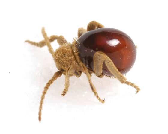 Escarabajo-araña5