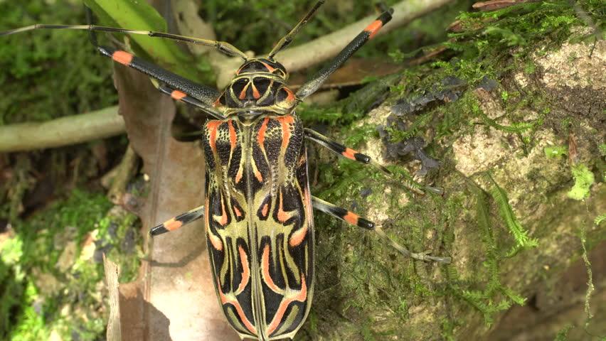 Escarabajo-arlequín3