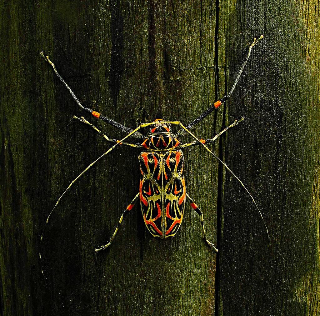Escarabajo-arlequín4