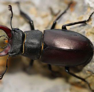Escarabajo ciervo: Todo lo que necesitas saber