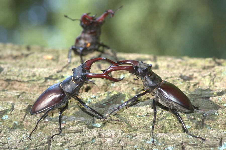 Escarabajo-ciervo3