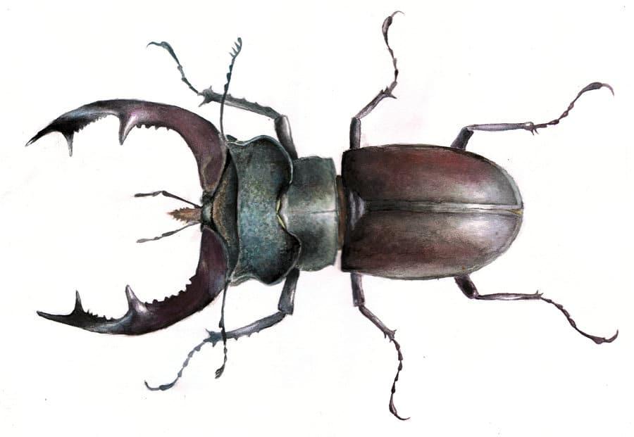 Escarabajo-ciervo4