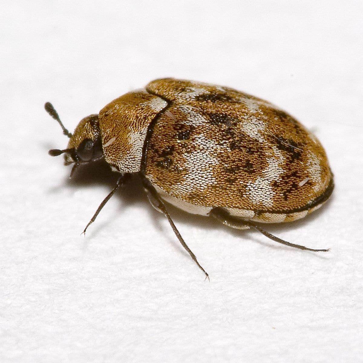 Escarabajo de alfombra