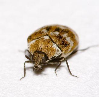Escarabajo de alfombra: Todo lo que debes saber