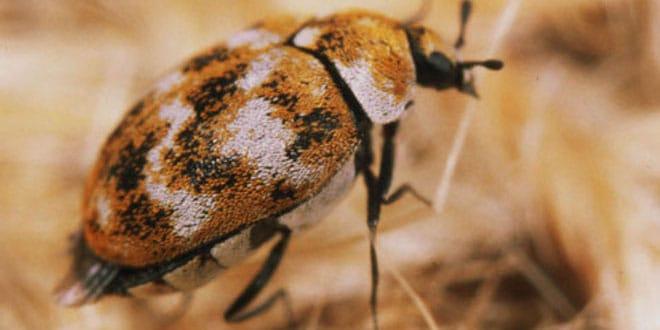 Escarabajo-de-alfombra3