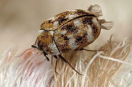 Escarabajo-de-alfombra4