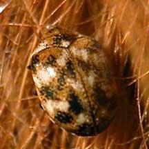 Escarabajo-de-alfombra5