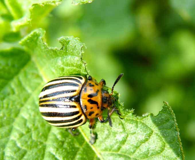 Escarabajo-de-la-patata1