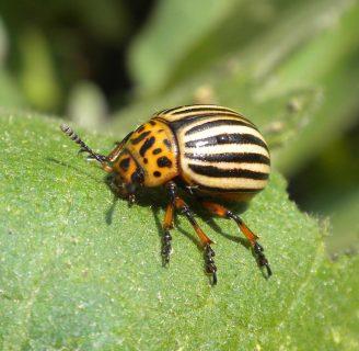 Escarabajo de la patata: Todo lo que necesitas saber del insecto