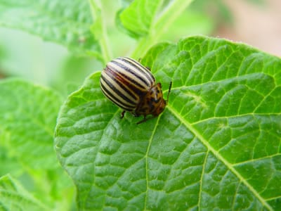 Escarabajo-de-la-patata4