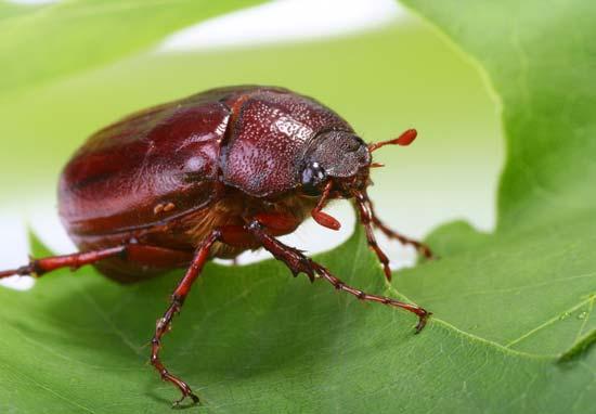 Escarabajo-de-tierra2