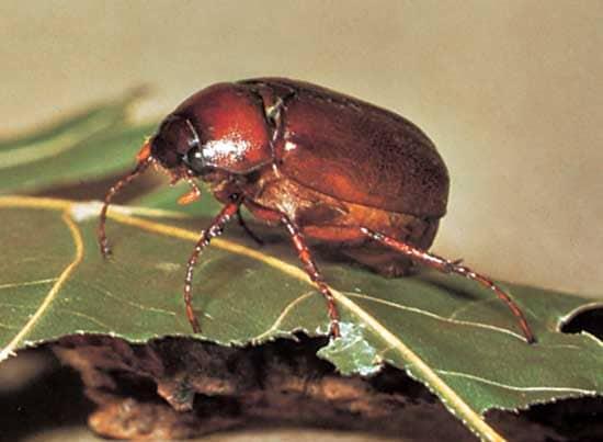 Escarabajo-de-tierra3