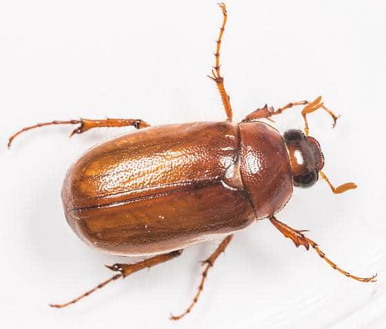 Escarabajo-de-tierra4