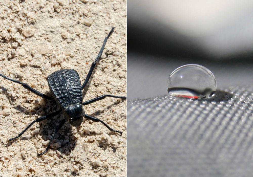 Escarabajo-del-desierto1