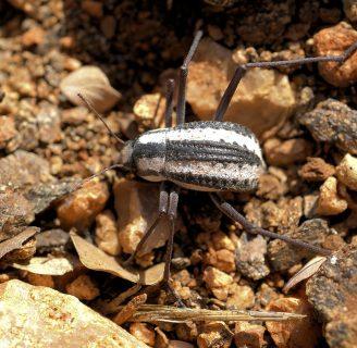 Escarabajo del desierto: Todo lo que debes saber