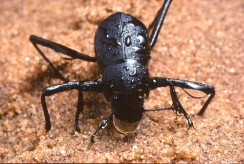 Escarabajo-del-desierto4