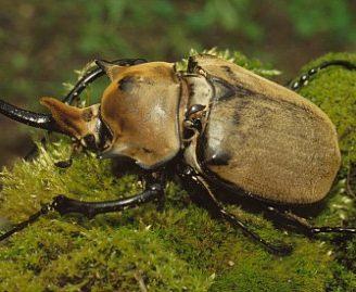 Escarabajo elefante: Todo lo que debes saber