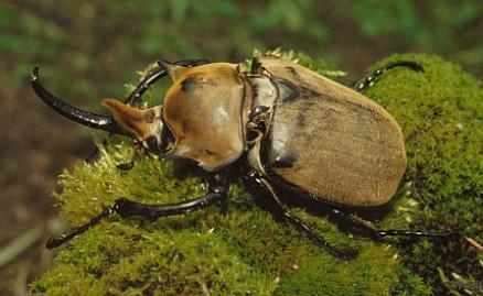Escarabajo-elefante2