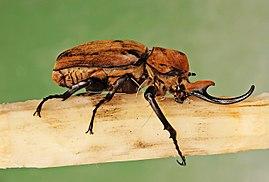 Escarabajo-elefante5