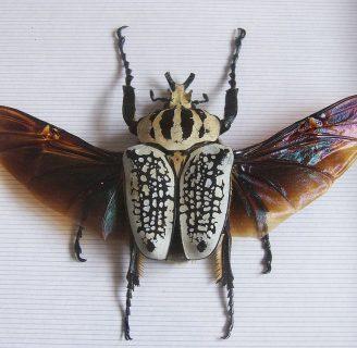 Escarabajo goliat: Todo lo que debes saber
