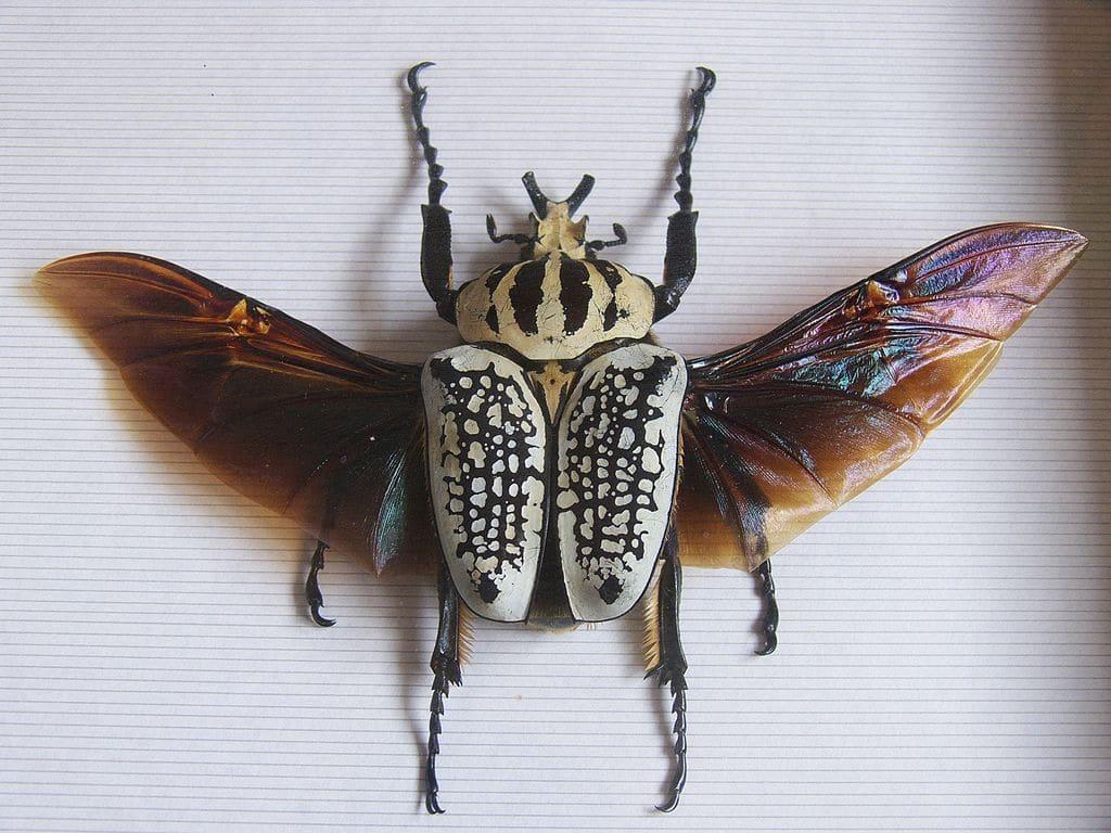 Escarabajo-goliat1