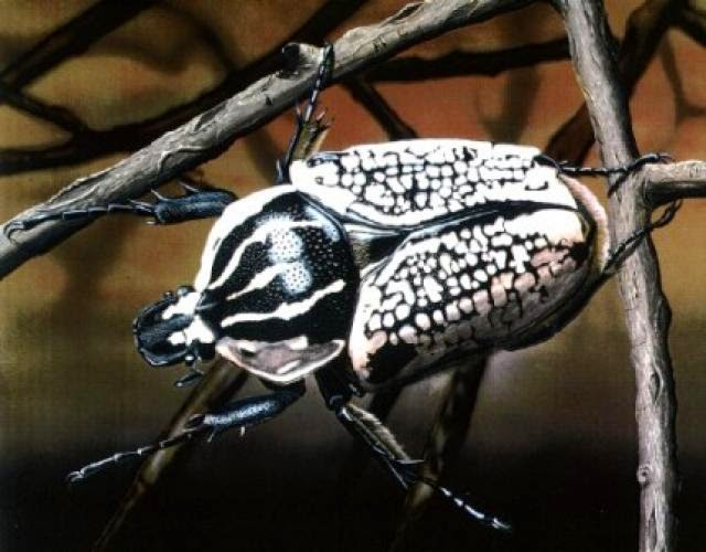 Escarabajo-goliat5
