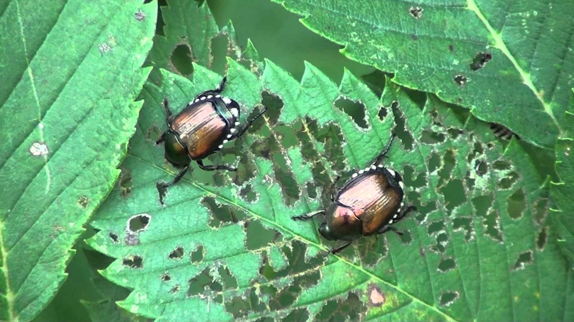 Escarabajo-japonés1