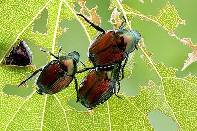 Escarabajo-japonés2